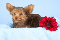Tired cute little Yorkshire terrier resting on a soft blue bed a Stock Photography