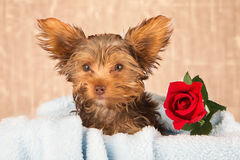 Tired cute little Yorkshire terrier resting on a soft blue bed a Stock Images