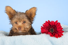 Tired cute little Yorkshire terrier resting on a soft blue bed a Royalty Free Stock Photo