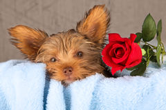 Tired cute little Yorkshire terrier resting on a soft blue bed a Royalty Free Stock Photography