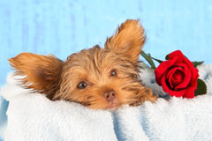 Tired cute little Yorkshire terrier resting on a soft blue bed a Royalty Free Stock Photos