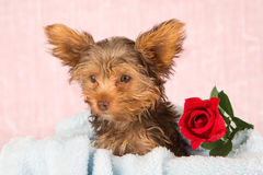 Tired cute little Yorkshire terrier resting on a soft blue bed a Stock Photos