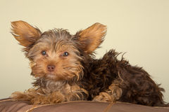 Tired cute little Yorkshire terrier resting on soft brown cushio Stock Photo