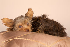 Tired cute little Yorkshire terrier resting on soft brown cushio Stock Image