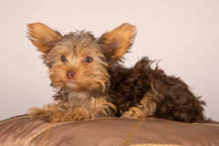 Tired cute little Yorkshire terrier resting on soft brown cushio Royalty Free Stock Photos