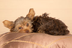 Tired cute little Yorkshire terrier resting on soft brown cushio Stock Images