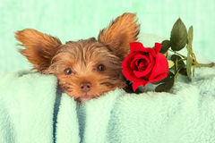 Tired cute little Yorkshire terrier resting on soft green bed wi Stock Images