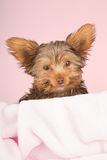 Tired cute little Yorkshire terrier resting on soft pink bed Stock Image