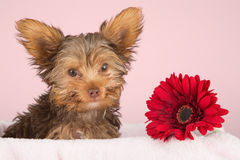 Tired cute little Yorkshire terrier resting on a soft pink bed a Stock Photo