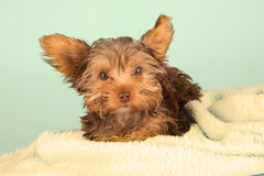Tired cute little Yorkshire terrier resting on soft yellow bed Royalty Free Stock Photography