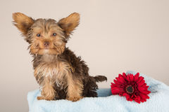 Tired cute little Yorkshire terrier sitting on a soft blue bed w Royalty Free Stock Photography