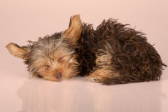 Tired cute little Yorkshire terrier sleeping on shiny peach surf Stock Photography