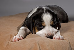 Tired cute puppy on pillow. A tired 3 weeks old Finnish Hound puppy lying on pillow, looking at camera royalty free stock photos