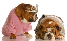 Tired of the diva. English bulldog tired of another dog giving the diva routine stock images