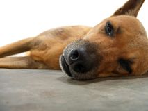 Tired dog. Laying on one side, face close-up, focus on nose, semi isolated Royalty Free Stock Images
