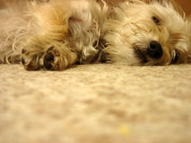 Tired Dog. Asleep on the carpet Royalty Free Stock Images