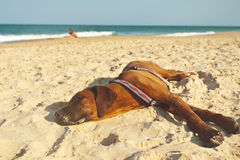 Tired dog at the beach Stock Photography