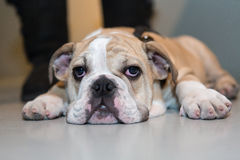 Tired dog. Bulldog puppy lying on a floor Royalty Free Stock Images