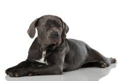 Tired dog. Tired cane corso dog  on white Stock Photo