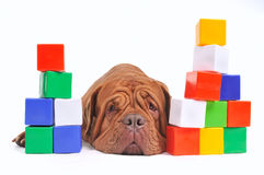 Tired dog and cube brick towers. Tired dog and colorful cube brick towers against white background Royalty Free Stock Photography
