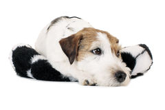 Tired dog. On a cushion royalty free stock photography