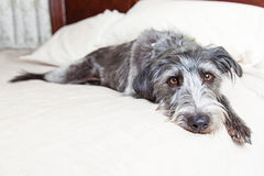 Tired Dog Laying in Bed Royalty Free Stock Images