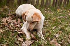 Tired Dog. Laying in a geen grass Stock Image
