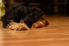 The tired dog lays on a floor. The tired dog a cocker spaniel lays on a floor Royalty Free Stock Images
