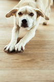 Tired dog. A tired dog looking into the camera whilst stretching Royalty Free Stock Photos