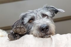 Tired Dog Looking Out From Bed. Tired medium size mixed terrier breed dog lying on bed with head and paws hanging over. Low angle perspective Royalty Free Stock Photography