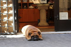 Tired dog. Tired-looking dog in a shop doorway Royalty Free Stock Photo