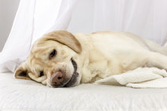 Tired dog is lying on the bed. Tired labrador retriever dog lying sprawled on a white bed Stock Photo