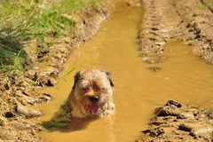 Tired dog in a mud puddle royalty free stock photo