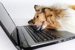 Tired dog by notebook. Photo of collie dog lay down tired by notebook pc royalty free stock photos