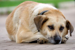 Tired dog is resting on the pavement Stock Images