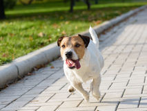 Tired dog running out of the last forces. Jack Russell Terrier playing at fall park Royalty Free Stock Images