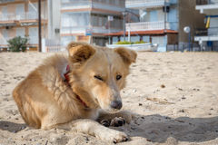 Tired dog. In sand on a beach Royalty Free Stock Images