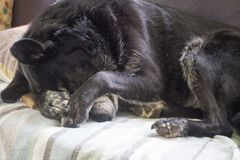 Tired dog sleeping. Old retired farm dog sleeping on furniture royalty free stock photos