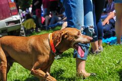 Tired dog . Tired dog with his owner in the crowd Royalty Free Stock Images