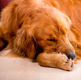 Tired dog Stock Images