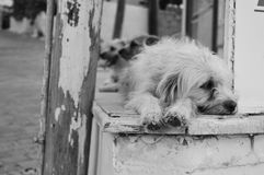 Tired dog. White tired dog having a rest in the evening Royalty Free Stock Photo
