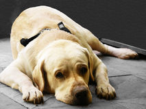 Tired Doggy. An old cute Labrador tired, lying on the floor Stock Photography