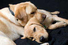 Tired dogs Royalty Free Stock Photos