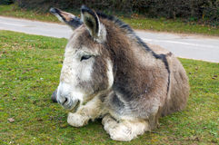 Tired Donkey. Donkey having a rest in the New Forest UK Stock Photography