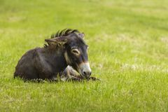 Tired donkey. Tired brown donkey (Equus africanus asinus) lying down in the grass Stock Images