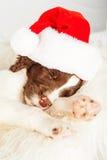 Tired English Springer Spaniel Puppy Wearing Santa Hat While Sle Stock Image