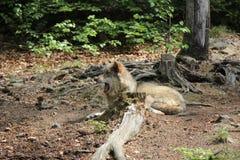 Tired Eurasian Wolf. stock image