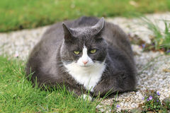 Tired fat lady. Beautiful obese cat spread out on the grass in the garden, tired and hungry after a workout royalty free stock photography