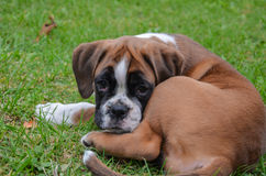 Tired fawn boxer puppy lying in the grass Royalty Free Stock Photography