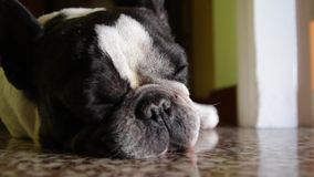 Tired french bulldog falls asleep - different shots - sequence - many shots stock video footage